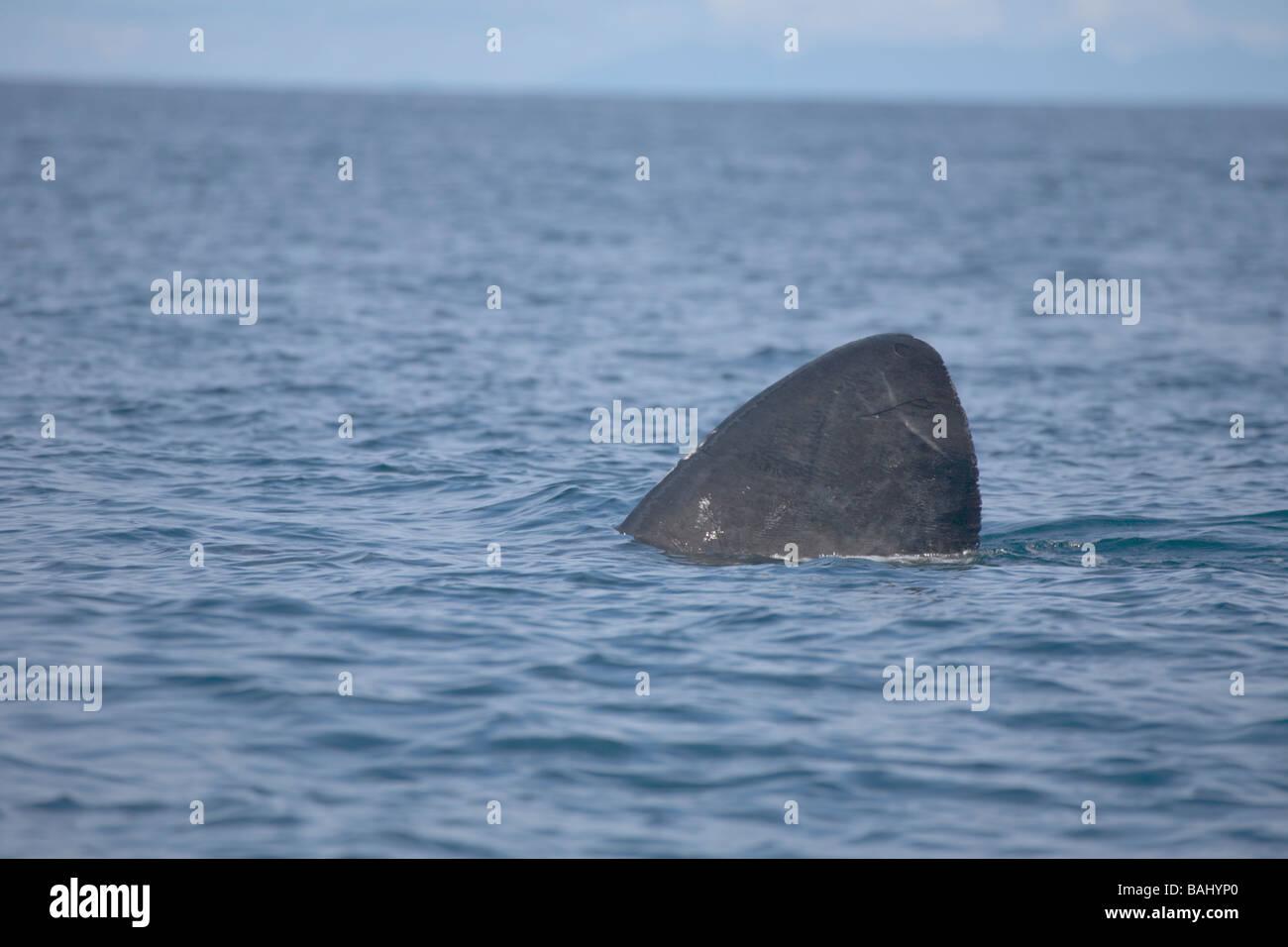Deserted island of Mingulay Outer Hebrides United Kingdom Scotland GB Basking Shark - Stock Image