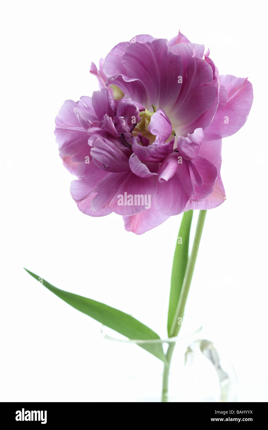 Single tulip tulipa Lilac Perfection in a glass vase jug - Stock Image