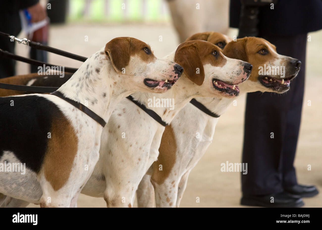 Fox Hounds At The Festival Of Hunting,Peterborough - Stock Image