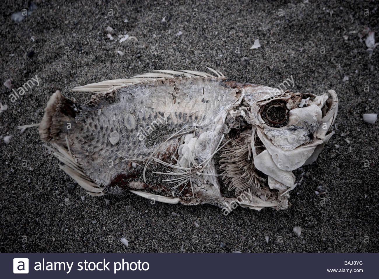 Dead Fish on Shoreline Salton Sea California - Stock Image