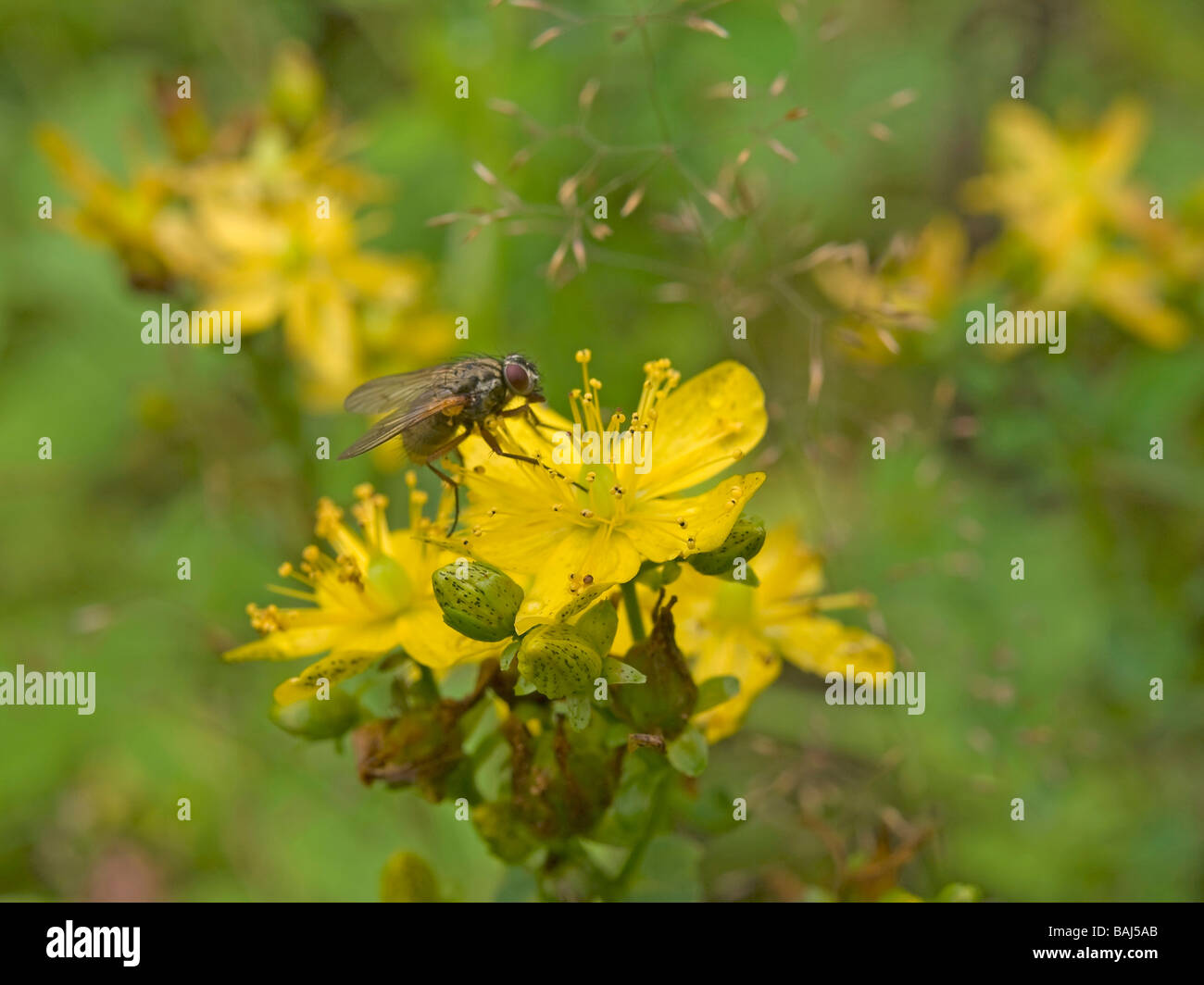 blossoms of St Johns wort Hypericum perforatum with bee medicinal plant used as therapy against depressions and - Stock Image