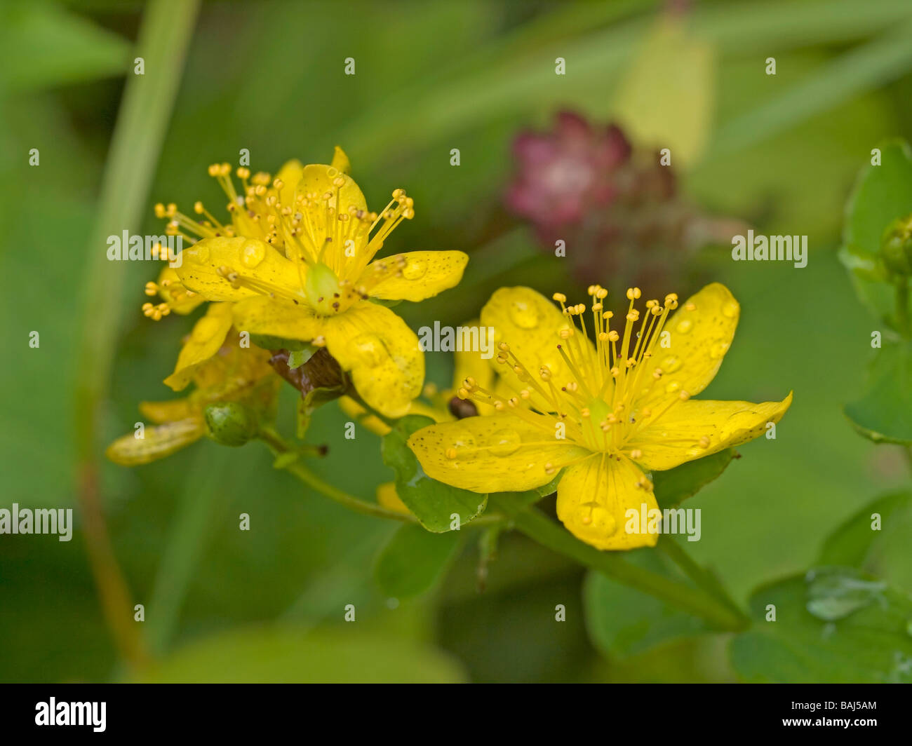 blossoms of St Johns wort Hypericum perforatum medicinal plant used as therapy against depressions and for good - Stock Image