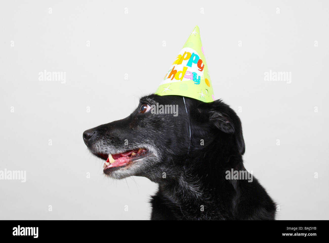 Black Dog Wearing Happy Birthday Party Hat