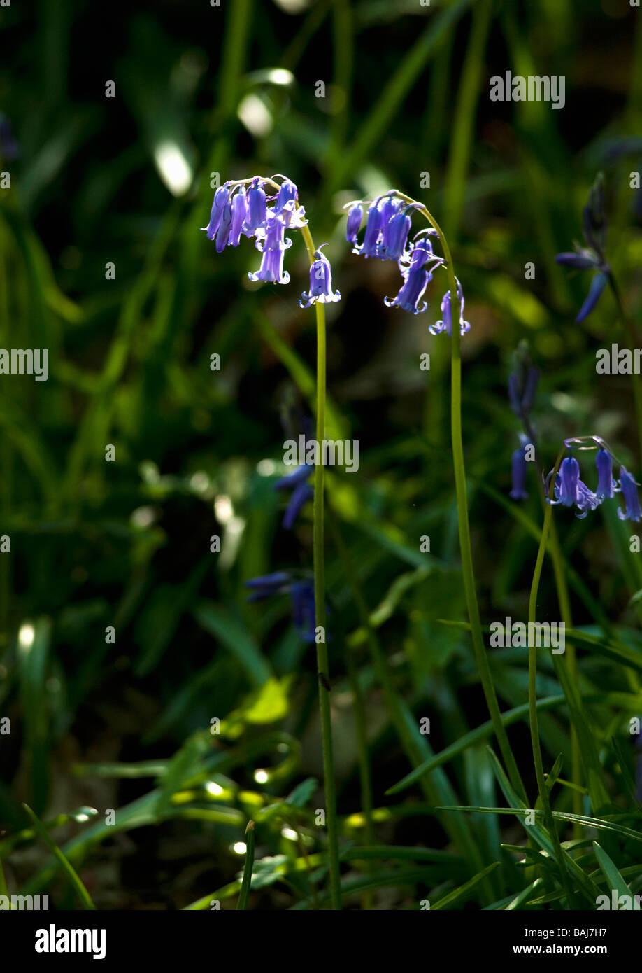 Bluebells bluebell Endymion Scilla Non scriptus Non scripta close up England UK GB British Isles - Stock Image
