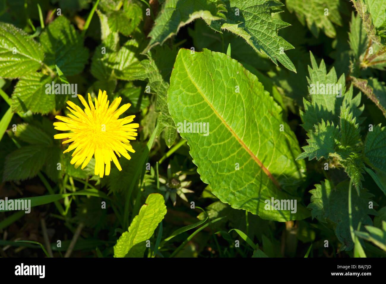 Weeds dandelion Taraxacum officinale Dock Leaf Rumex obtusifolius Stinging nettle Urtica dioica leaves England UK - Stock Image