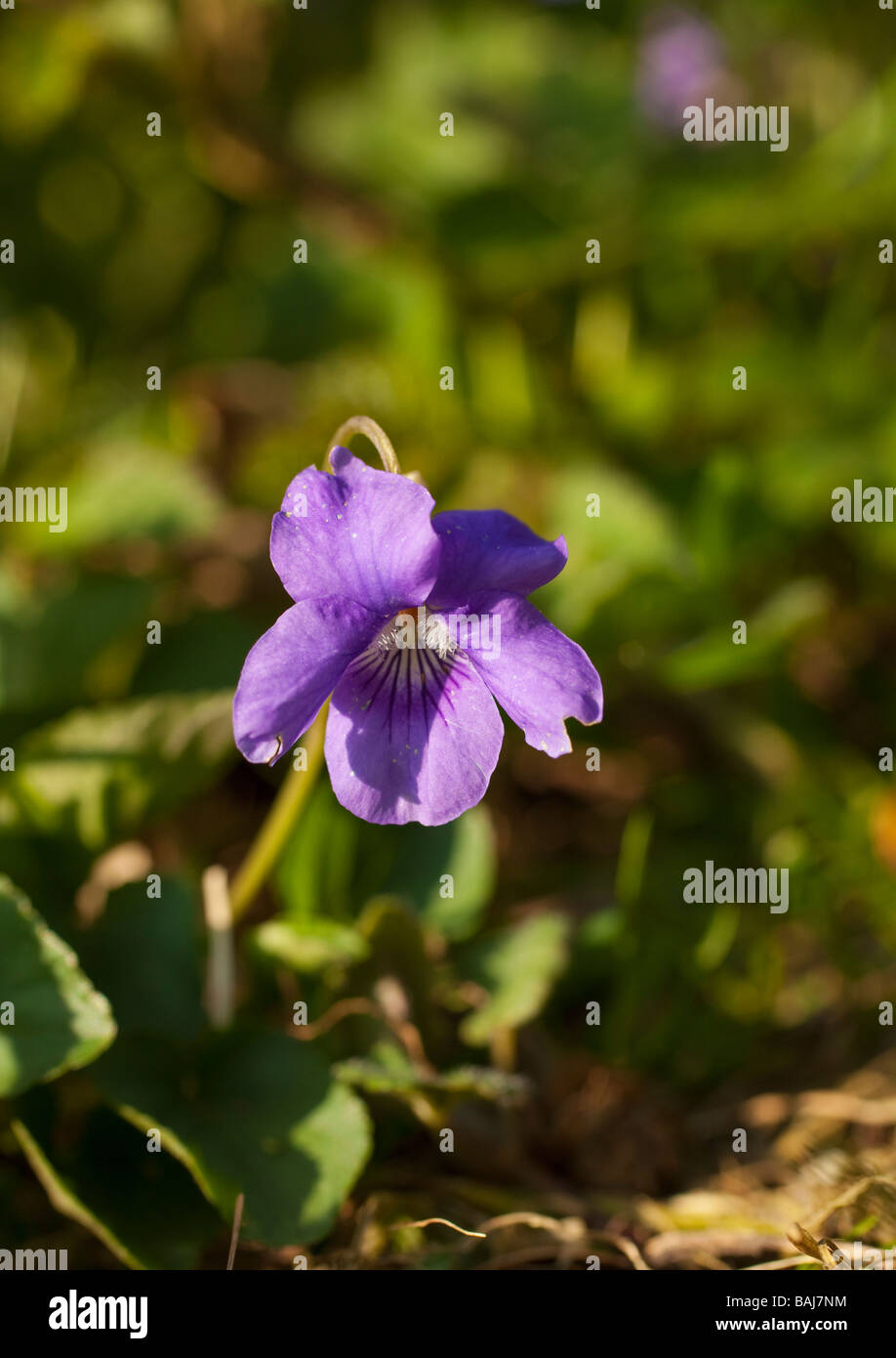 English violet Viola odorata England UK GB - Stock Image