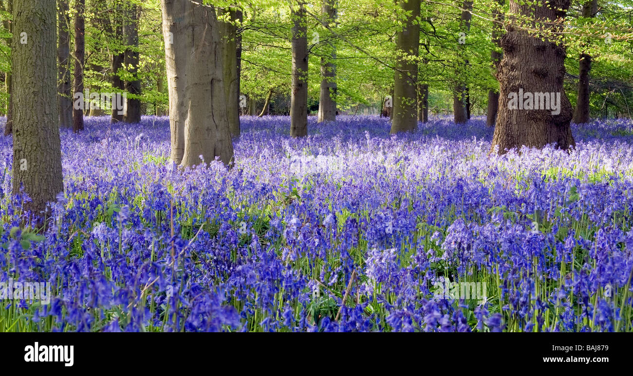Carpet of English native Bluebells in ancient broadleaf woodland. - Stock Image