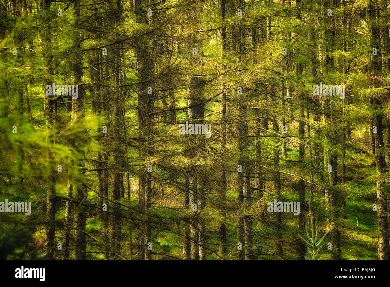 Forest at Devil's Bridge - Stock Image