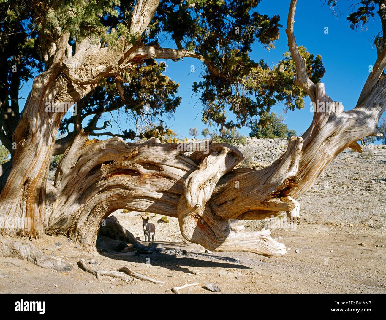 Donkey waiting behind a century old Juniper tree on the Sayq Plateau Oman Esel wartet hinter einem Jahrhunderte - Stock Image