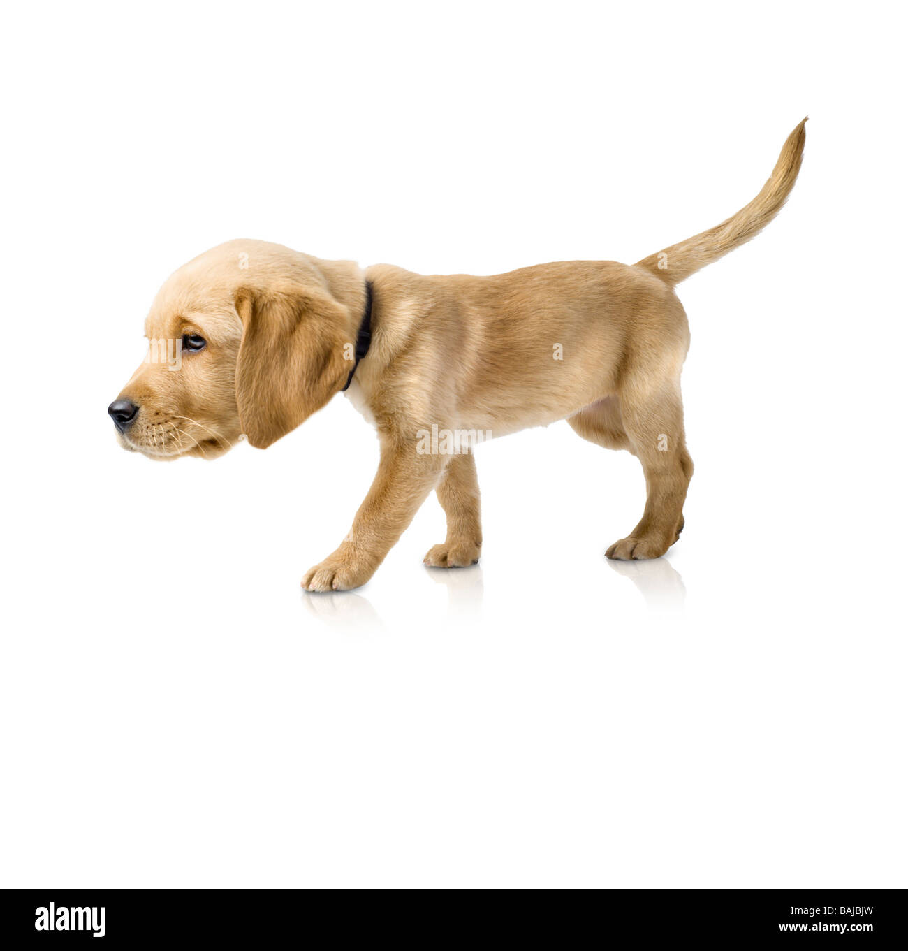 Labrador Cross Golden Retriever Puppy With An Exagerated Big Funny