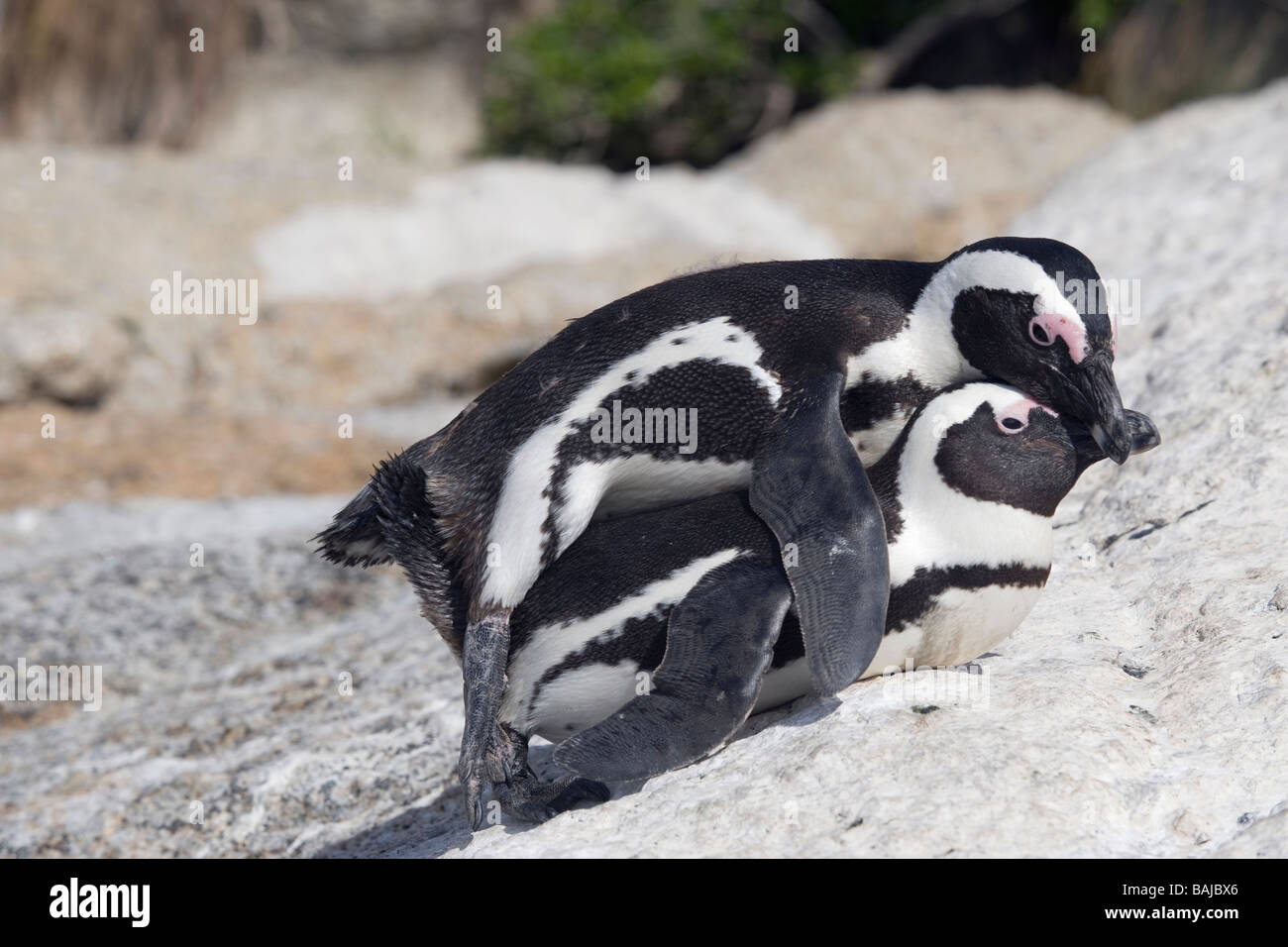 African Penguin Spheniscus demersus mating at Boulder Beach Simon's Town South Africa - Stock Image