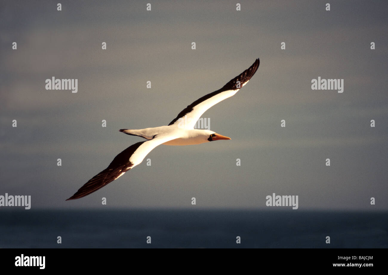Galapagos Islands. Masked Booby 'Sula dactylatra' Adult in flight. - Stock Image
