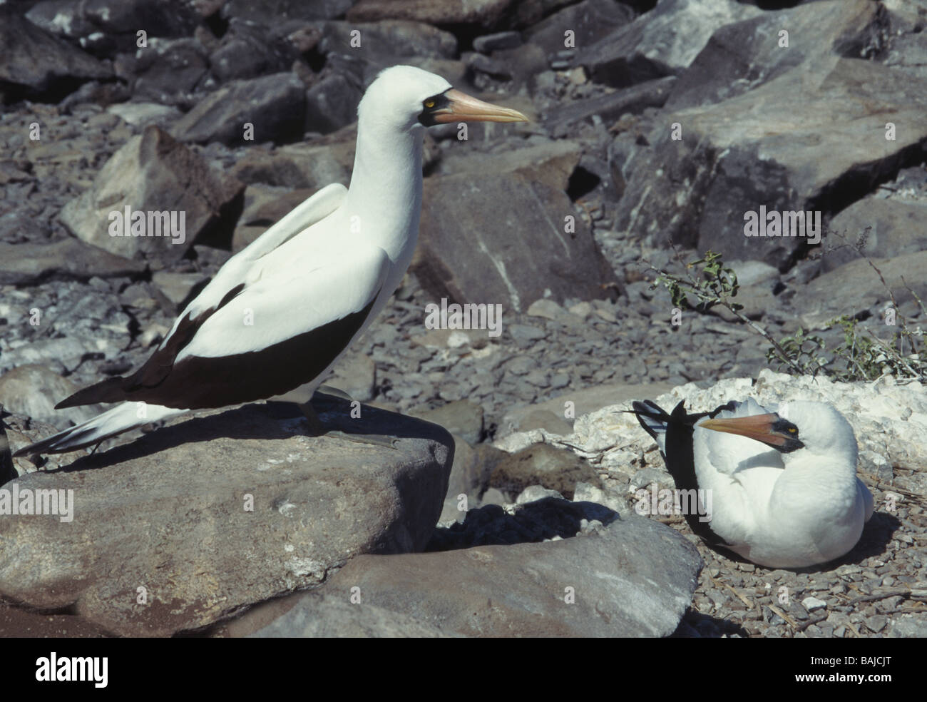 Galapagos Islands. Masked Booby 'Sula dactylatra' Pair,one on nest and one standing by.Hood Island. - Stock Image