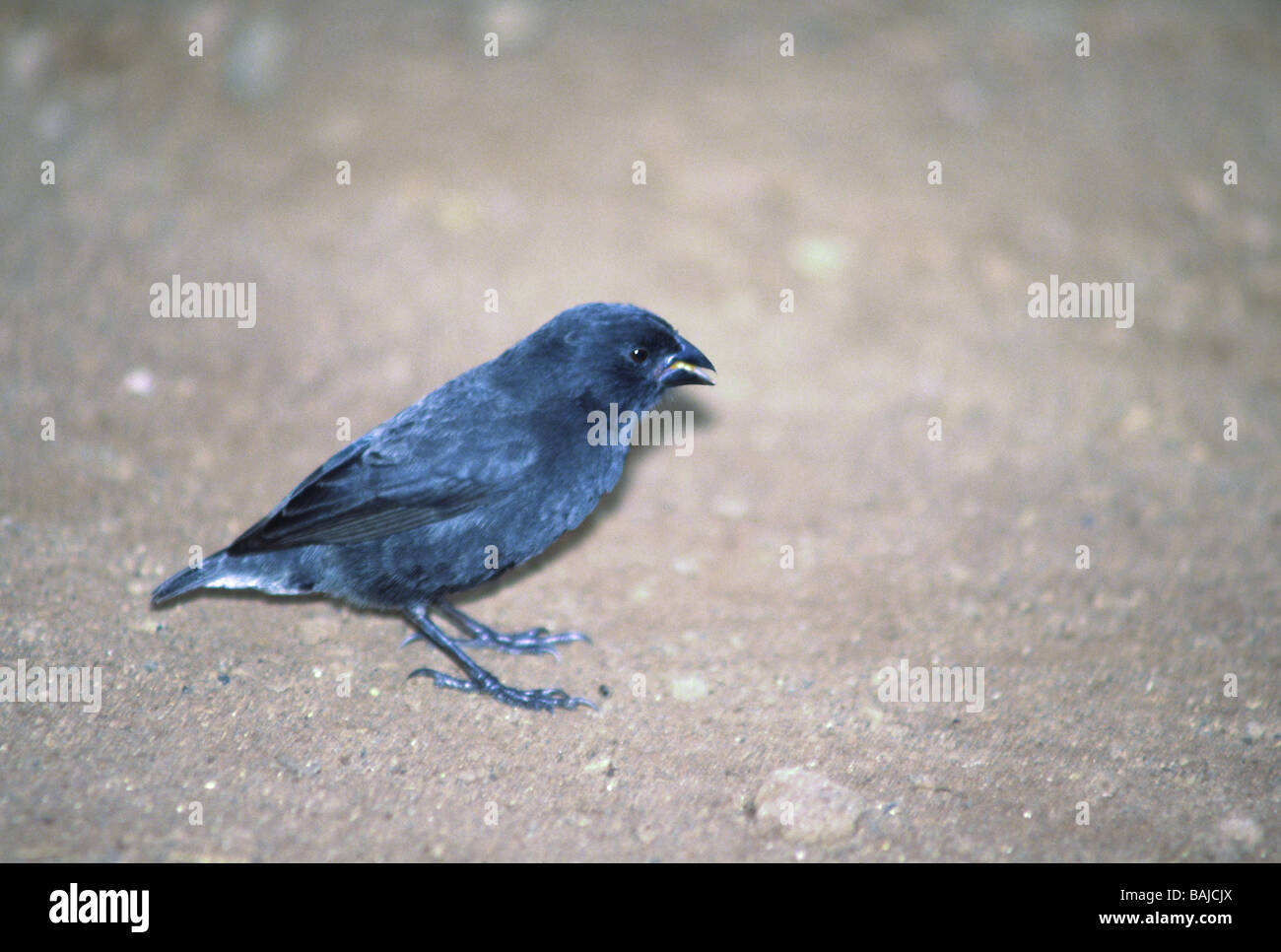 Galapagos Islands;Medium Ground Finch 'Geospiza fortis' Male on Santa Cruz island. - Stock Image