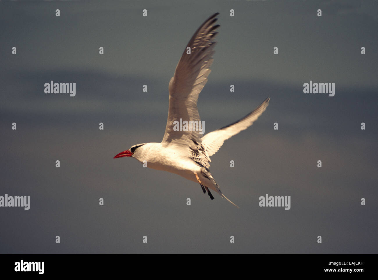 Galapagos Islands. Red-billed Tropicbird 'Phaethon aethreus' Adult in flight. - Stock Image