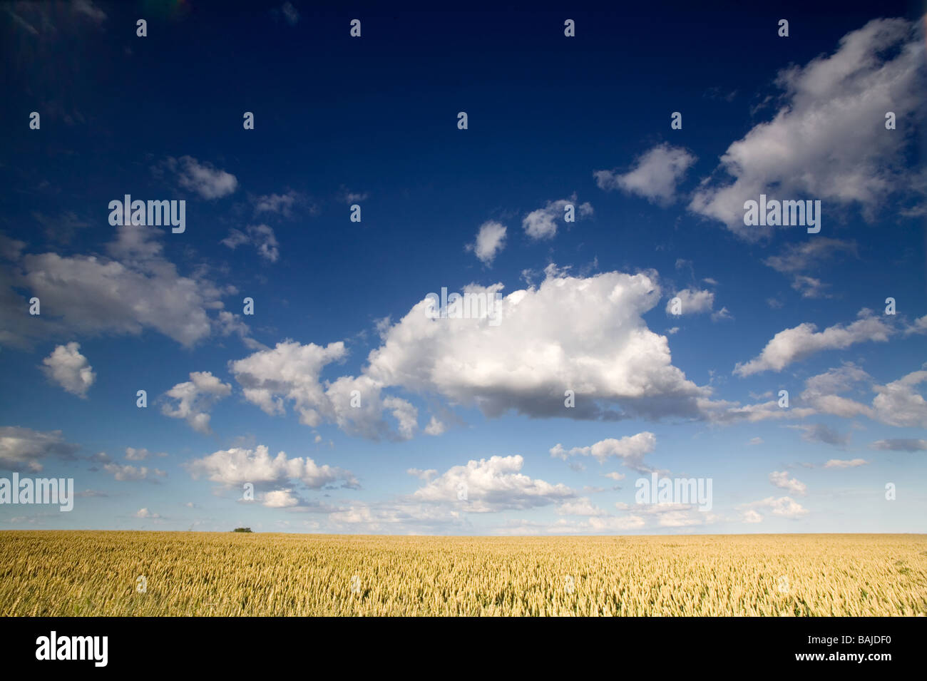 a view of an agricultural landscape over wheat field with blue sky and white flffy clouds in the height of summer - Stock Image