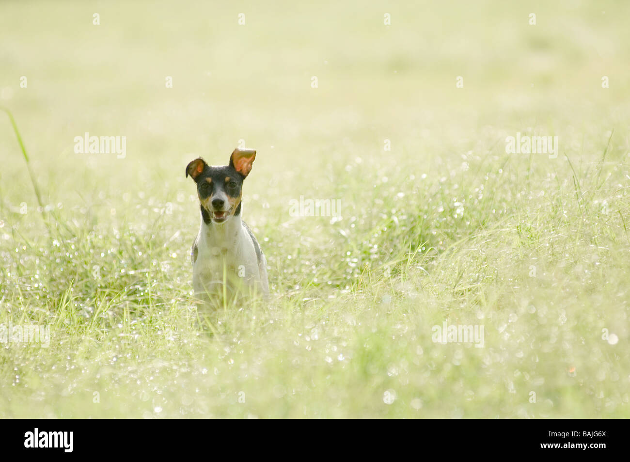 Tri-colored rat terrier sitting in a field of tall grass - Stock Image