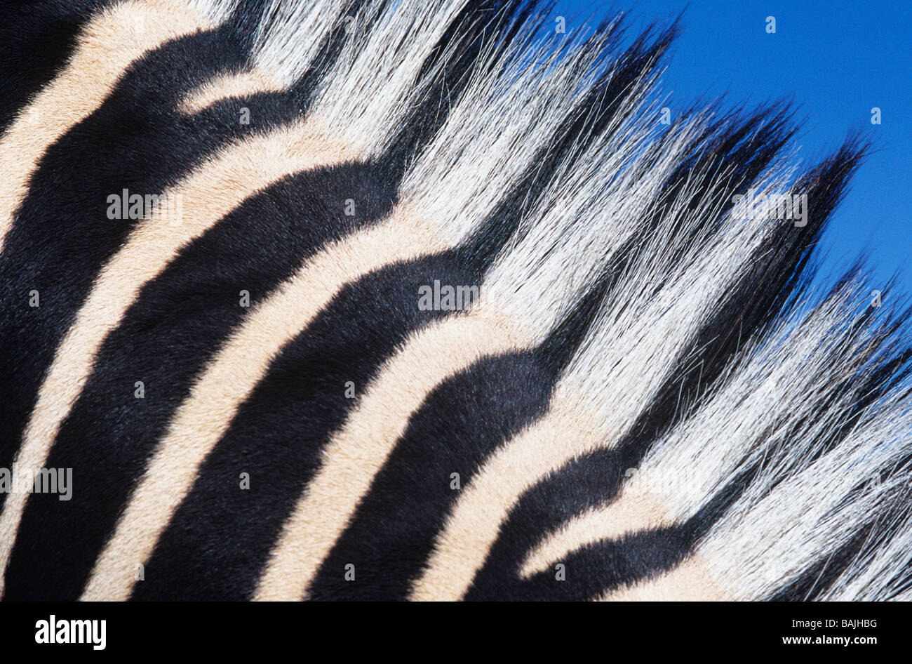 Zebras maine, close-up - Stock Image