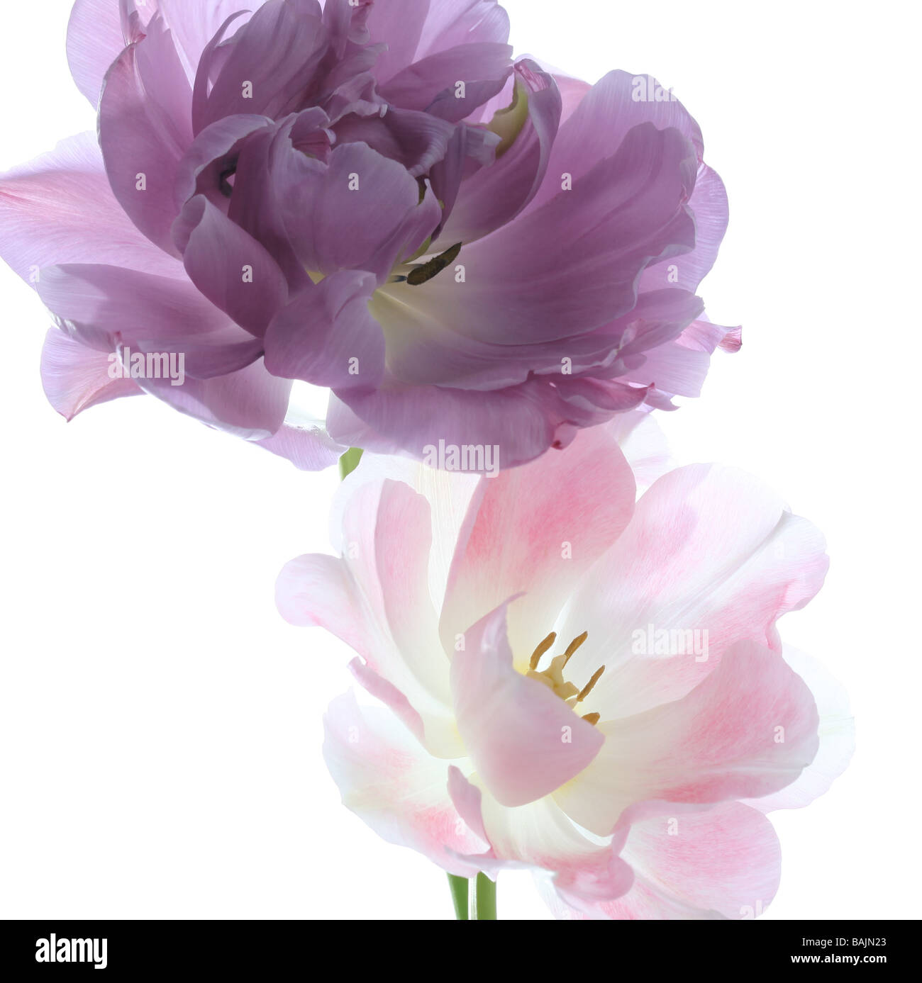 Two tulips Lilac Perfection and Mount Tacoma arranged on a white background - Stock Image