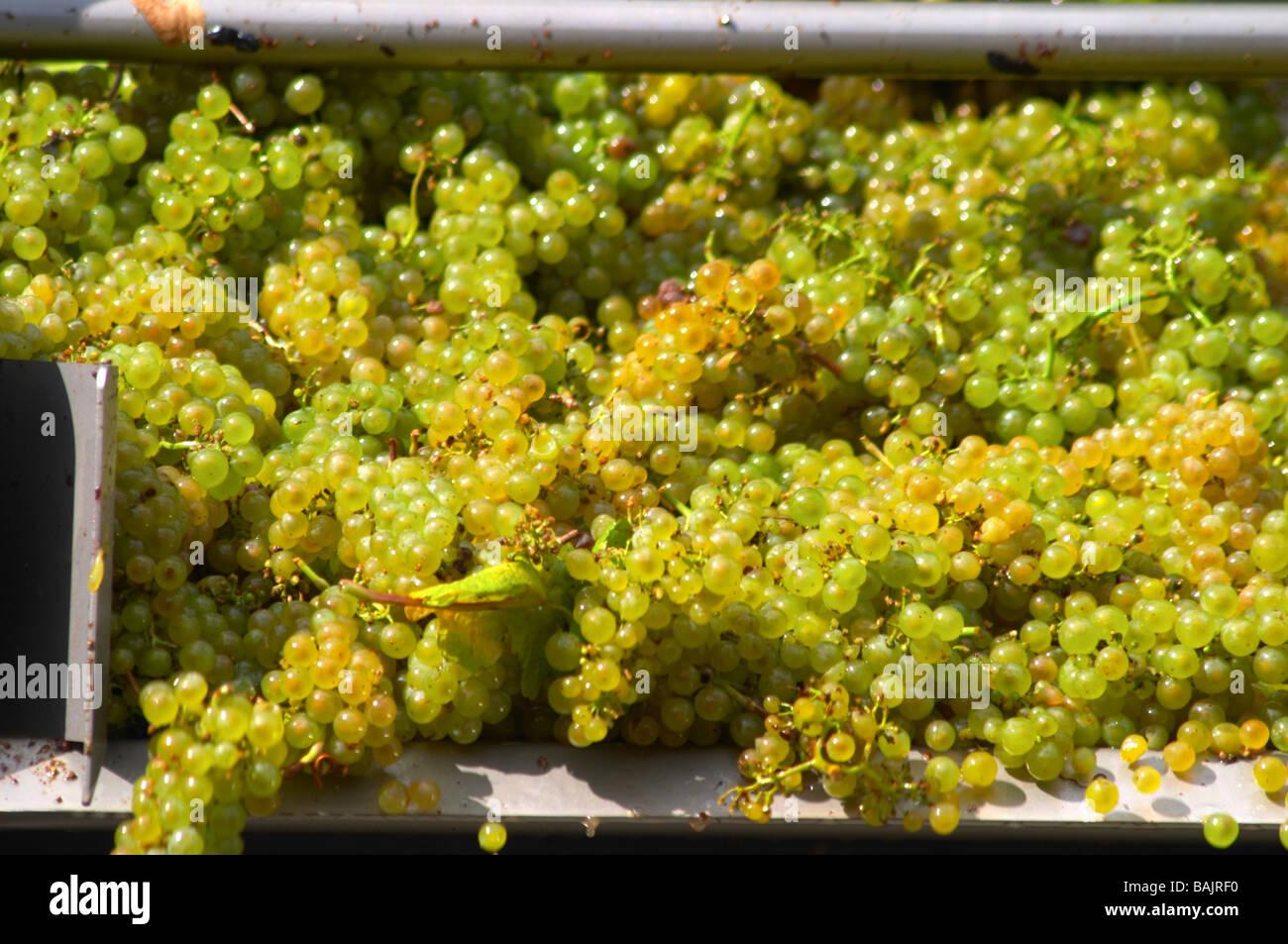 white grapes delivered on a conveyor belt chardonnay clos des langres ardhuy nuits-st-georges cote de nuits burgundy - Stock Image