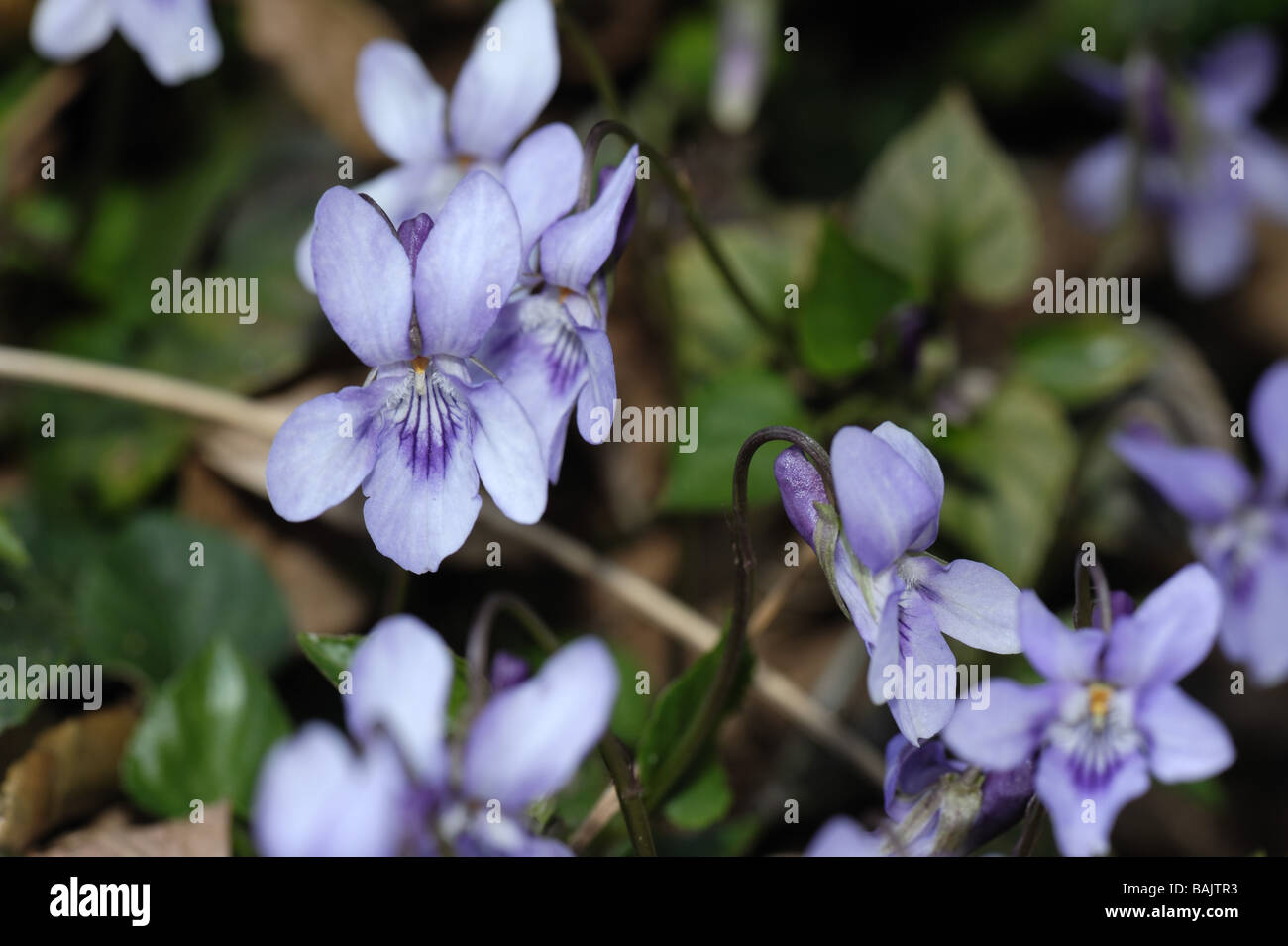Heath dog violet Viola canina flowering plant - Stock Image
