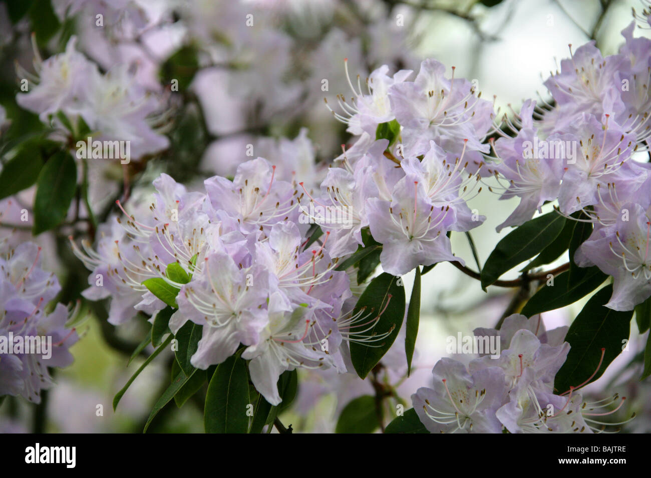 Lilac Coloured Rhododendron, Ericaceae - Stock Image