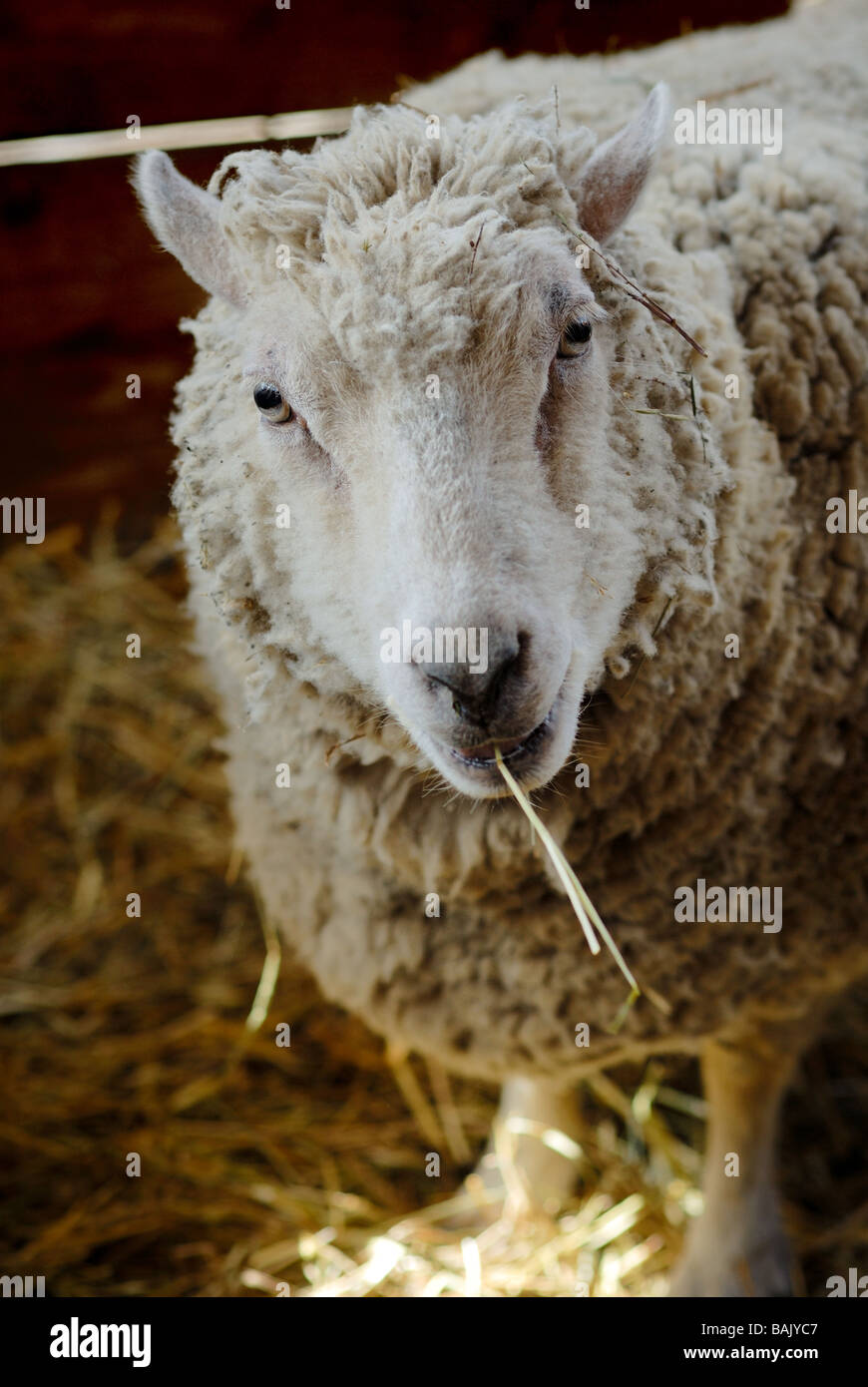 A sheep looks comical with a piece of hay hanging frmo his mouth like a cigarette. - Stock Image