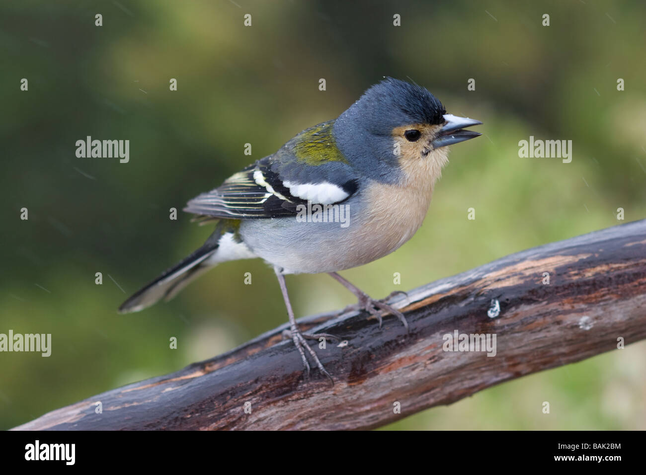 Madeiran Chaffinch Fringilla madeirensis - Stock Image