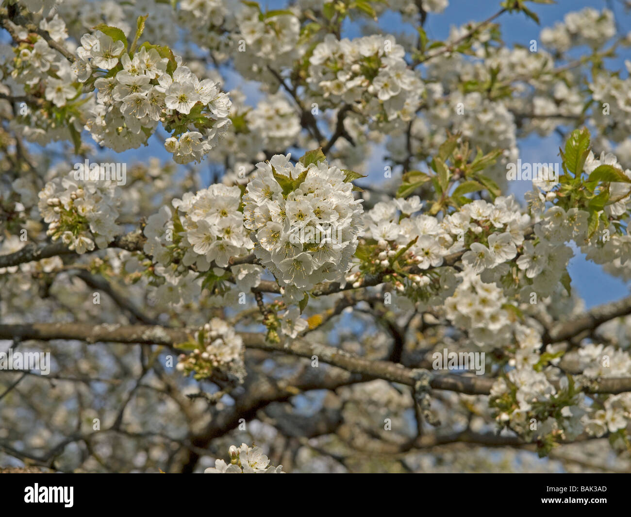 Flowering cherry tree with white blossoms near by weienohe bavaria flowering cherry tree with white blossoms near by weienohe bavaria upper franconia germany mightylinksfo