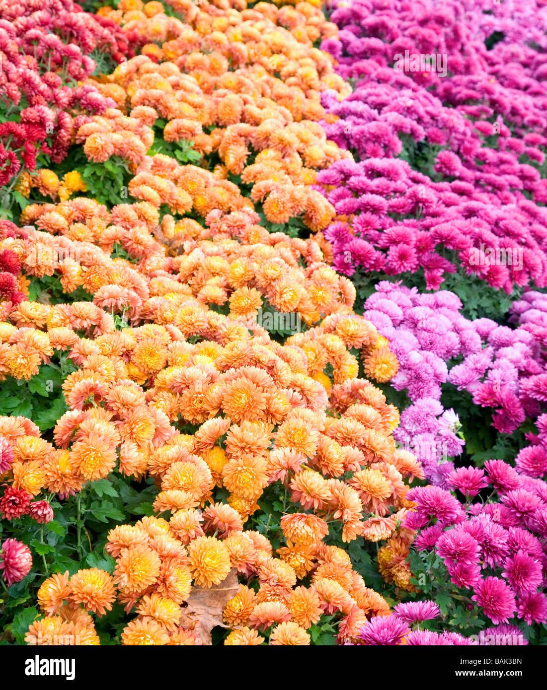 Autumn varicoloured chrysanthemum flower bad (striped background) - Stock Image
