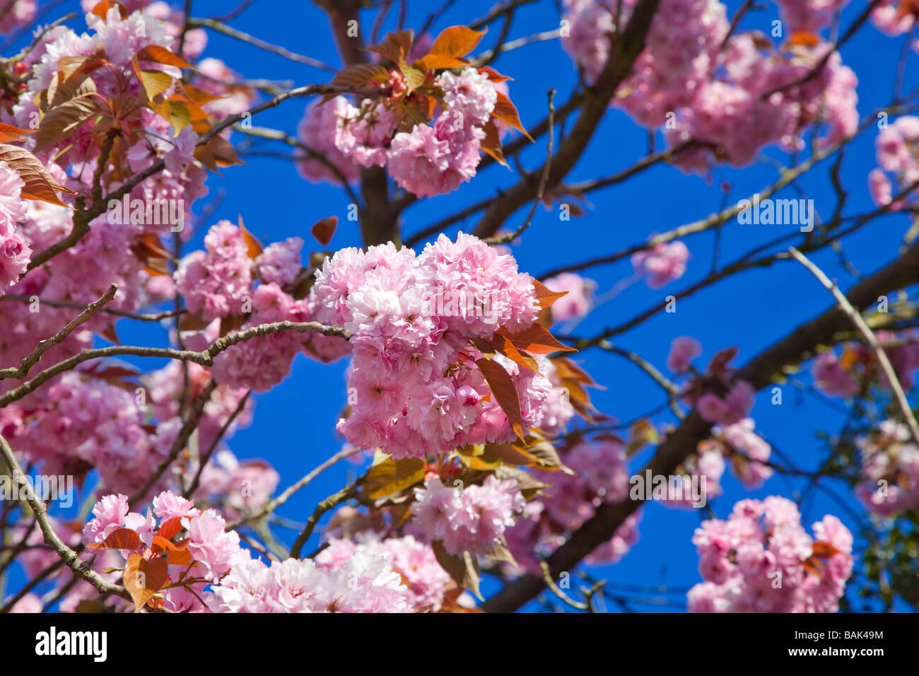 Pink ornamental Cherry tree blossom pure blue sky Springtime Stock Photo
