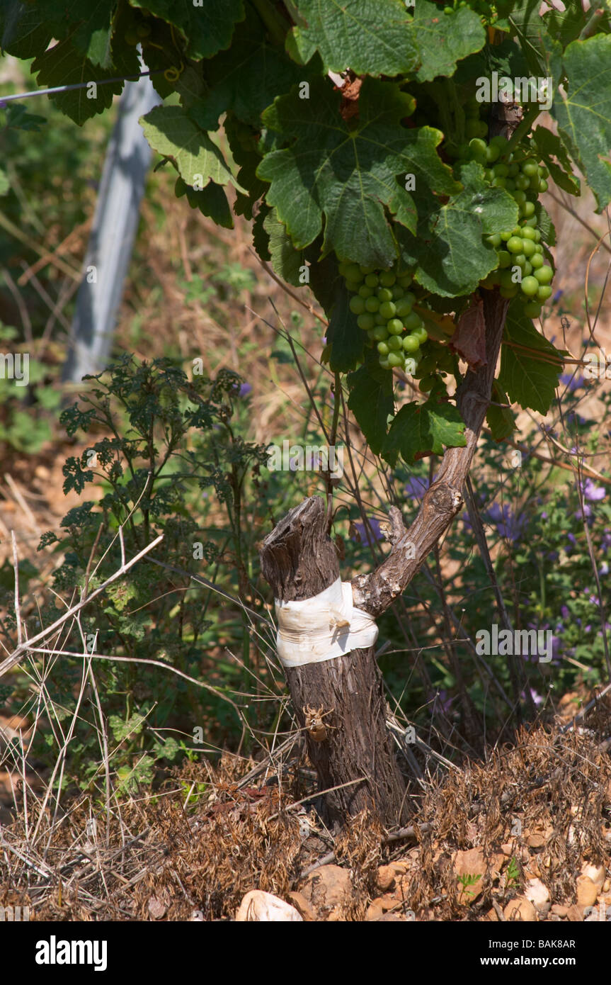 syrah field grafted on mourvedre one year ago mas du notaire rhone france - Stock Image