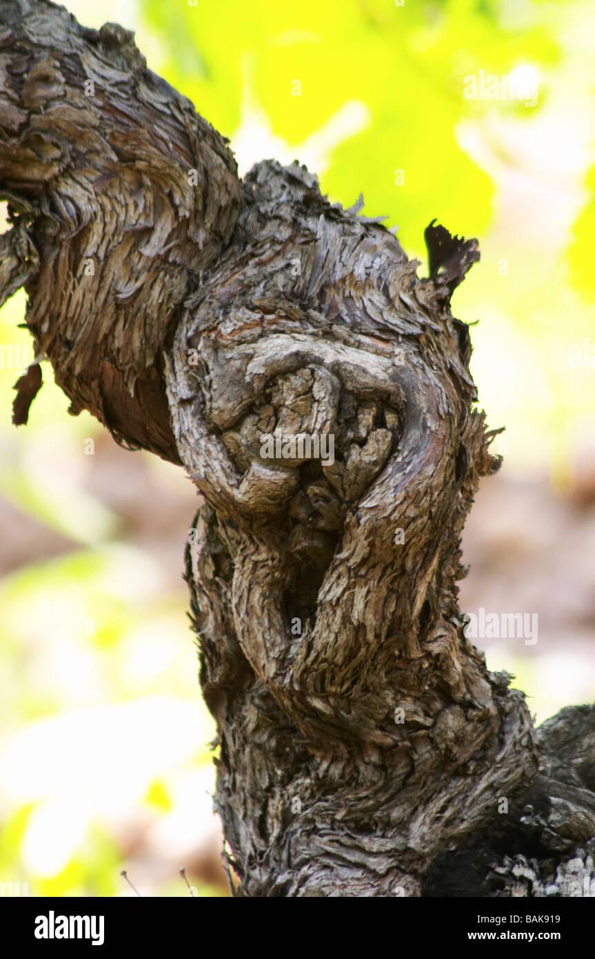 carignan old vine vineyard chateau de nages rhone france - Stock Image