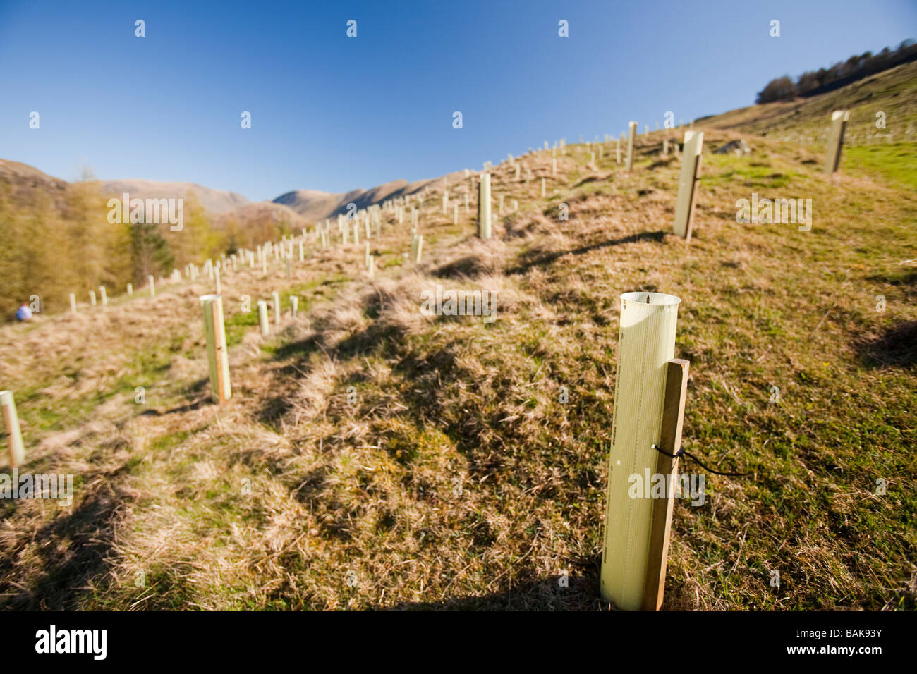 Native tree planting in Troutbeck near Windermere in the Lake district UK - Stock Image