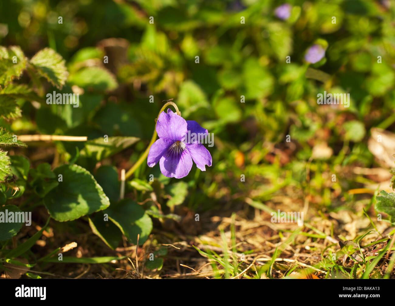 English violet Viola odorata England UK GB - Stock Image