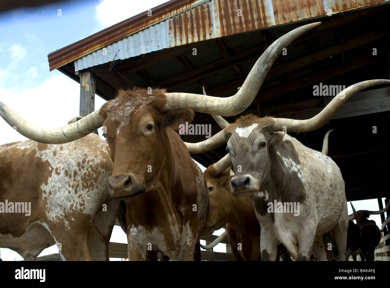 Longhorn Cattle Drive Fort Worth Stockyards Texas Usa Stock Photo Alamy