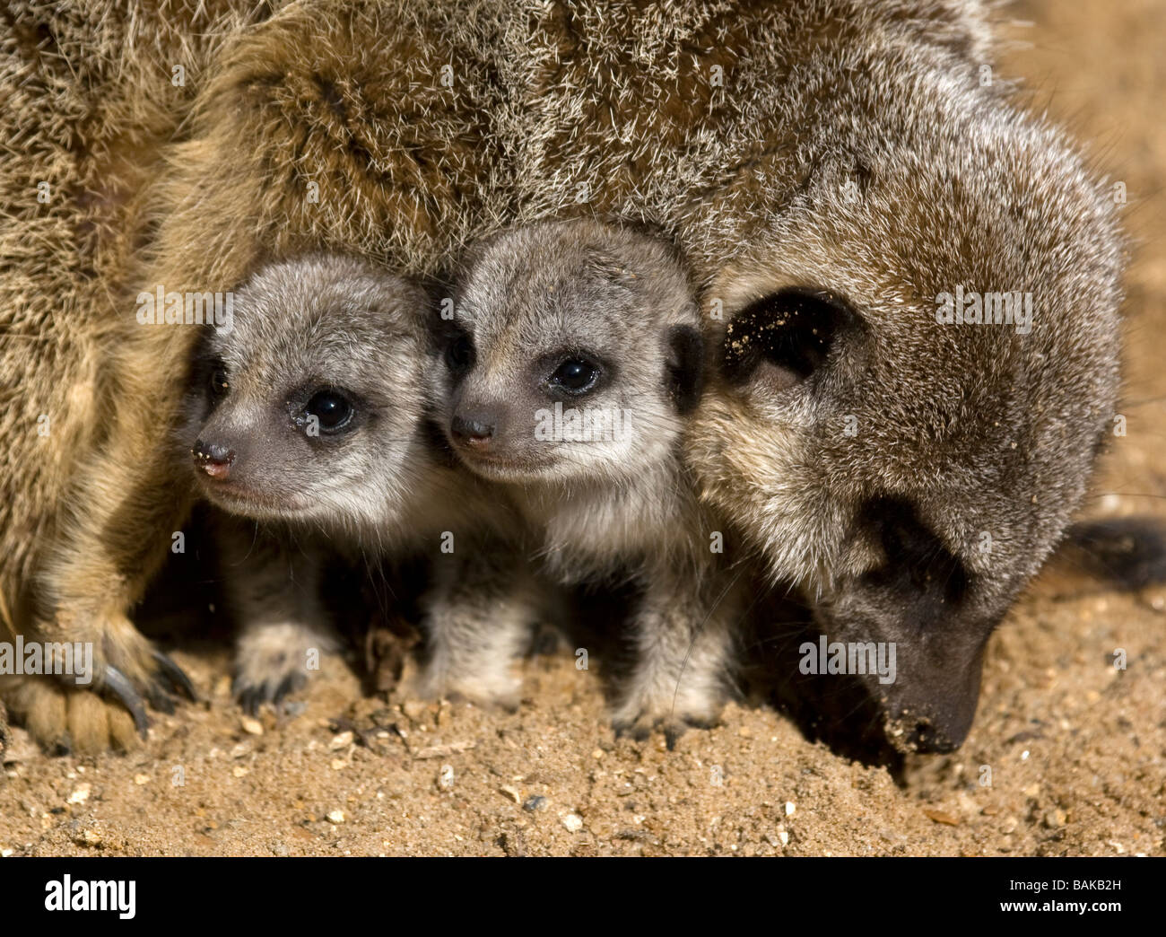 Meerkat pups under the protection of an adult - Stock Image