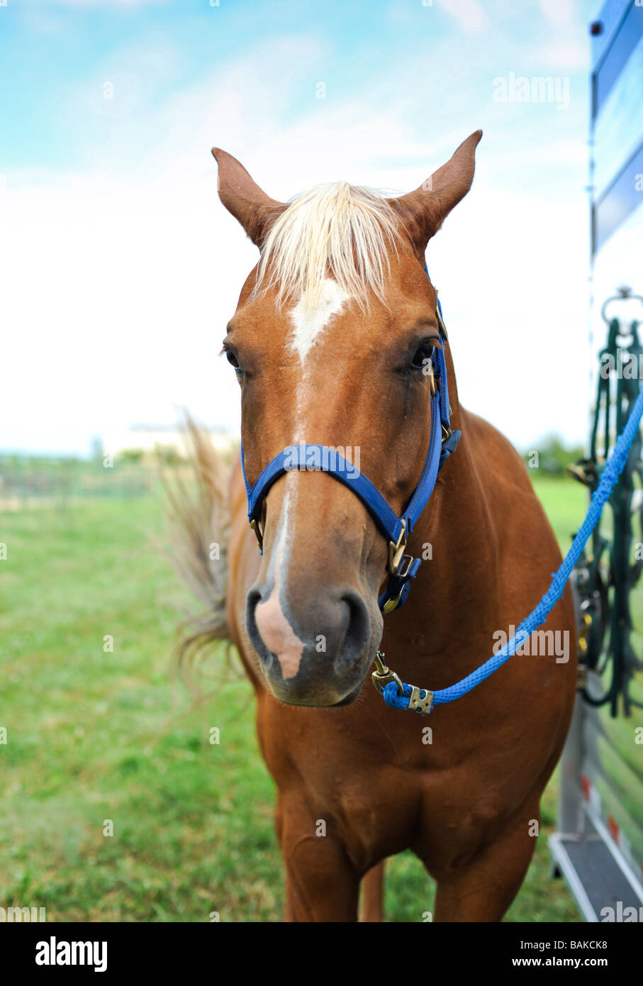 Horse tethered to a trailer at a rodeo - Stock Image
