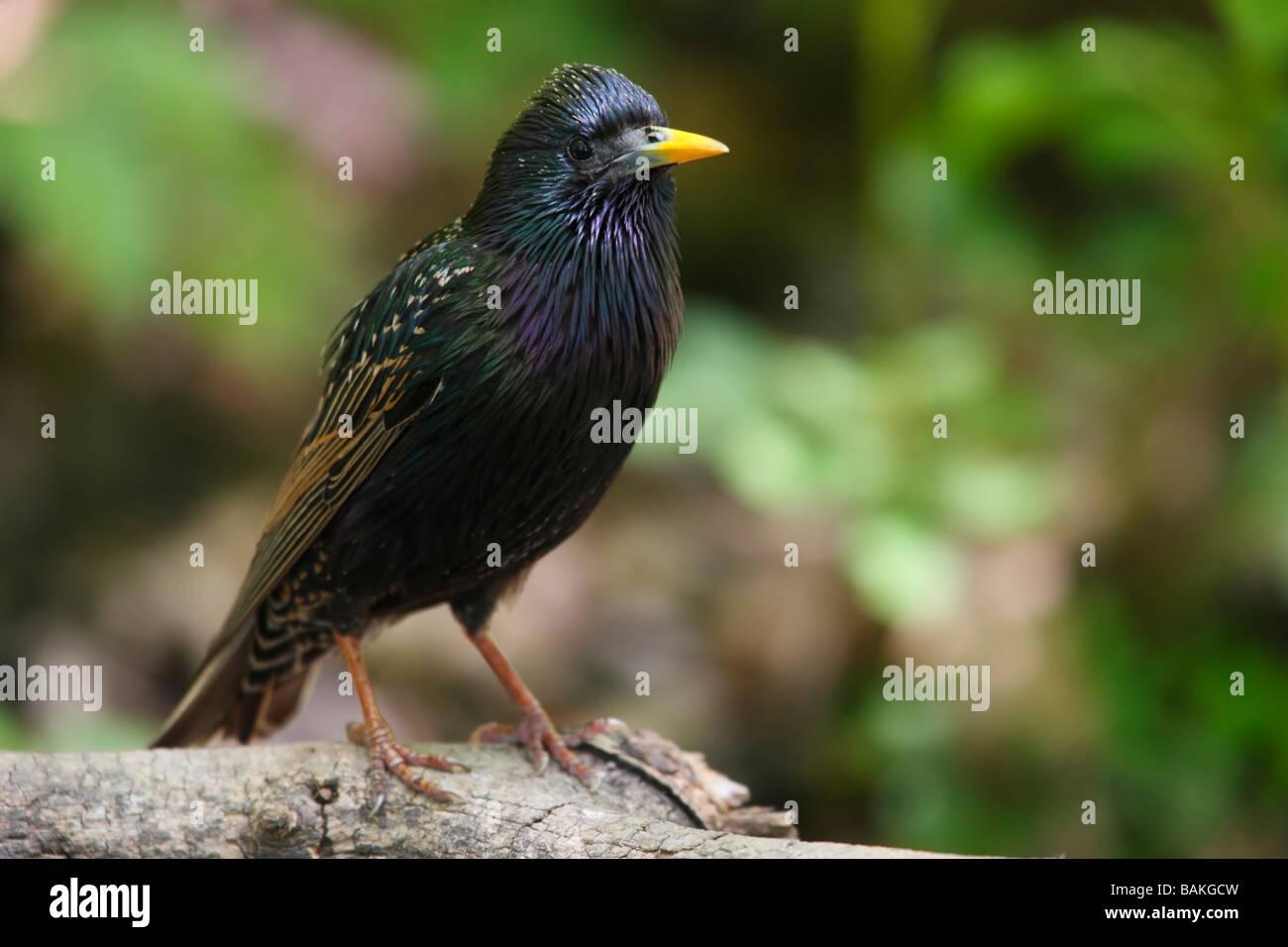 European Starling Sturnus vulgaris vulgaris male in breeding plumage - Stock Image