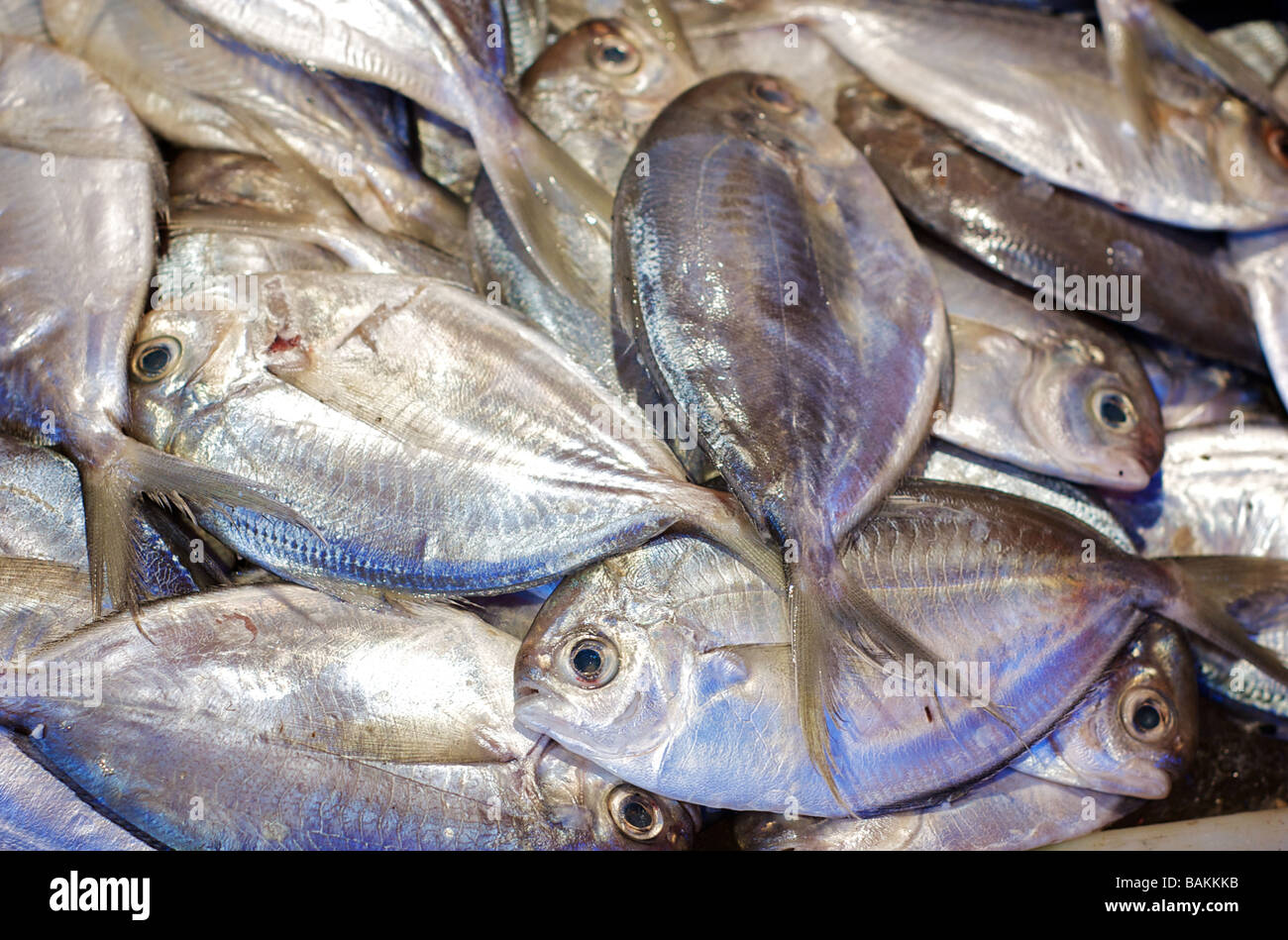 Fresh Pompano Fish on Display at a Seafood Market - Stock Image