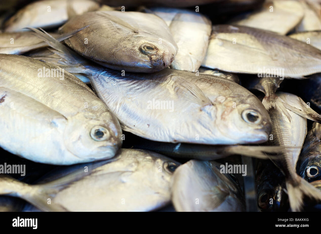 Closeup of Fresh Pompano Fish on Display at a Seafood Market - Stock Image
