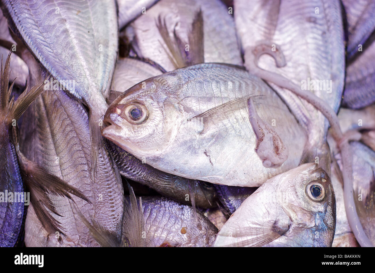 Closeup of Iced Pompano Fish on Display at a Seafood Market - Stock Image