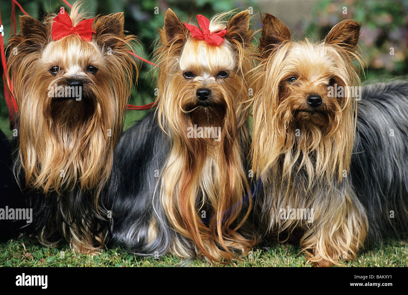 United Kingdom, Yorkshire, Yorkshire Terriers - Stock Image