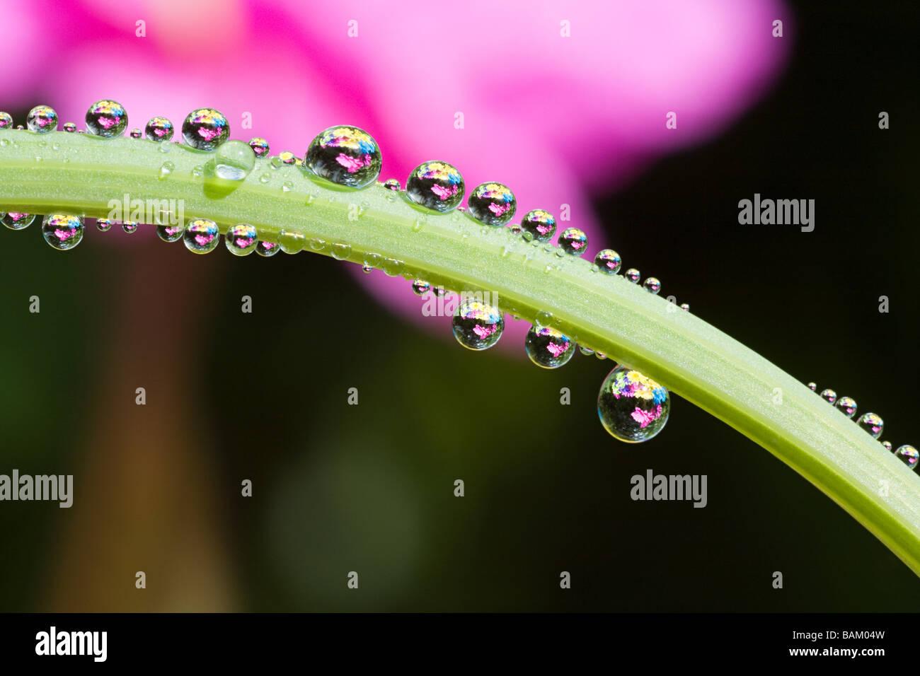 Dew droplets on a leaf - Stock Image