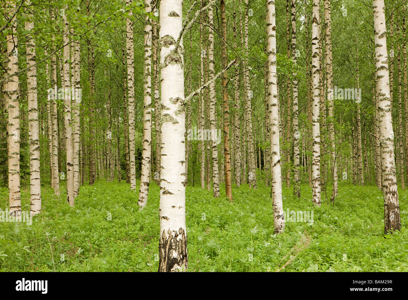 Forest of birch trees Stock Photo