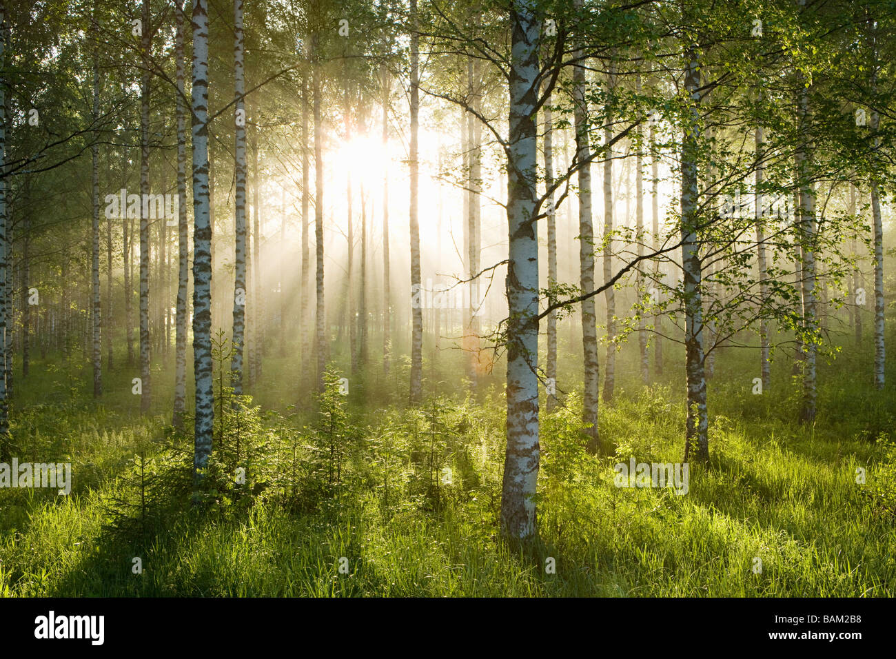 Sunlight in forest of birch trees - Stock Image