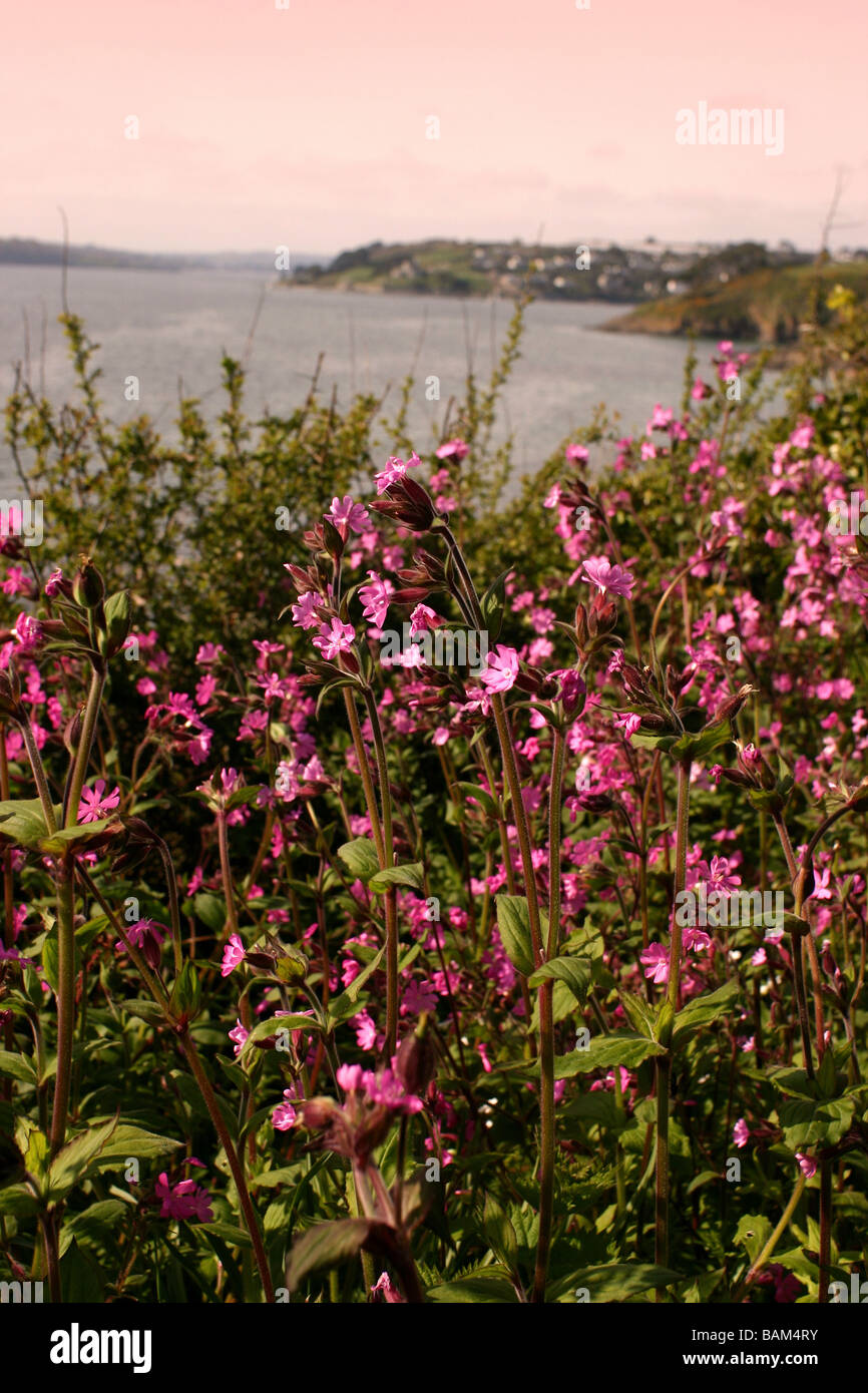 View of Fal estuary with wild red campion flowers in full bloom Cornwall UK Stock Photo