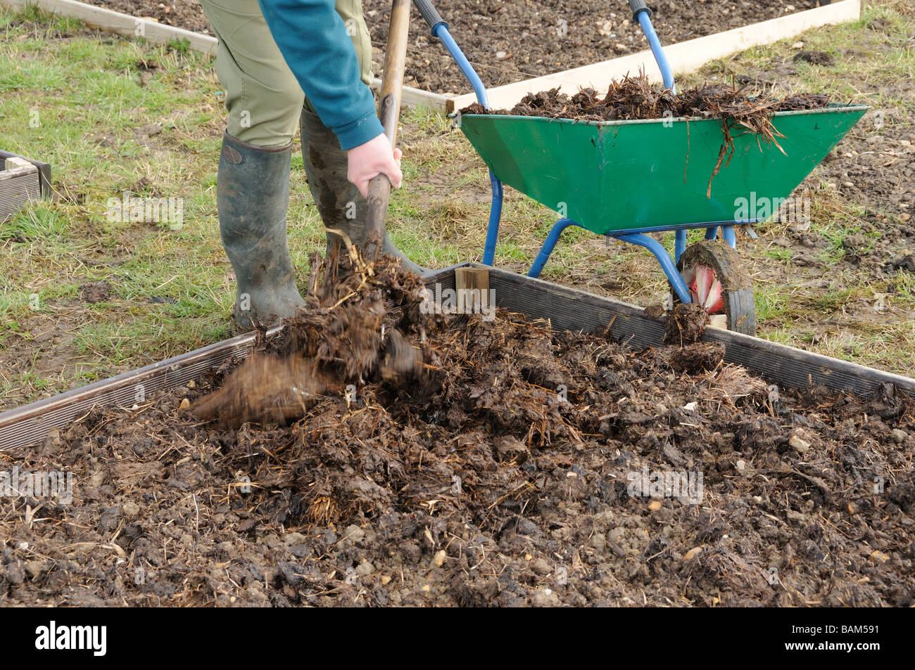 Gardener applying farmyard manure to raised beds Norfolk UK March Stock Photo