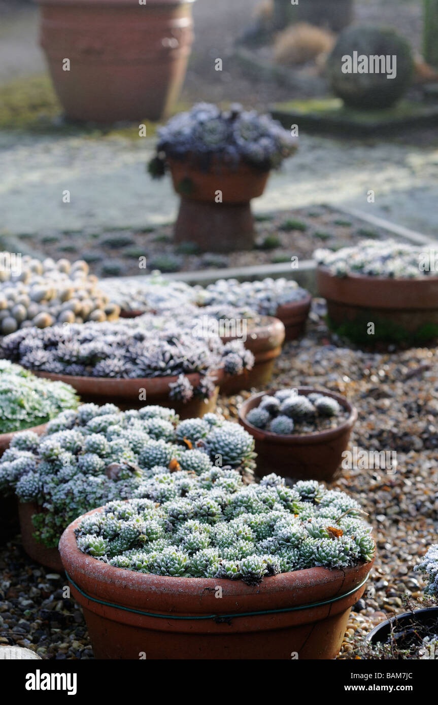 Frost Garden Pots Frost garden pots stock photos frost garden pots stock images alamy sempervivums in pots with covering of frost january stock image workwithnaturefo
