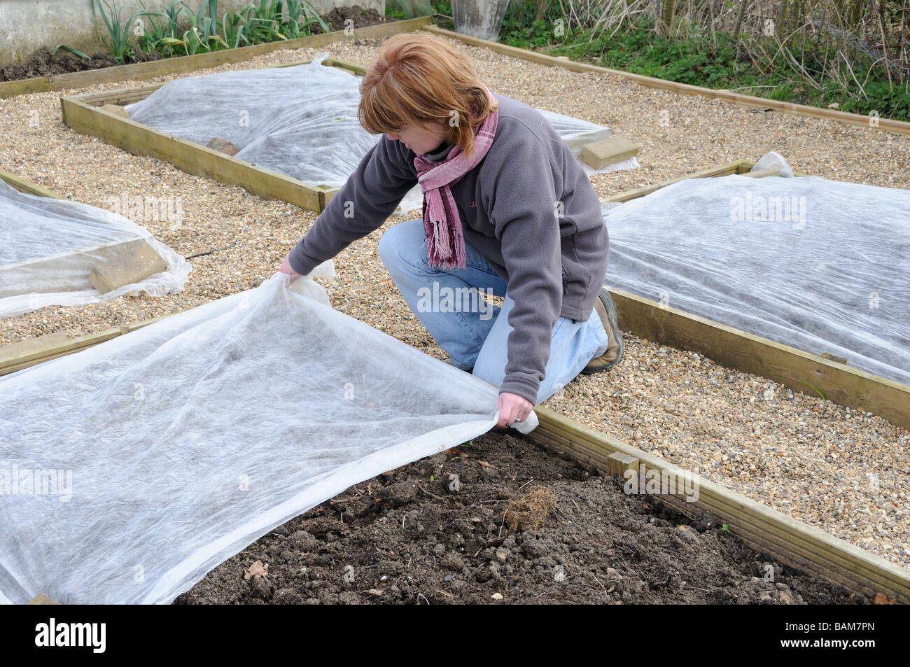 Lady gardener placing horticultural fleece on small raised beds to raised soil temperature prior to springtime sowing - Stock Image